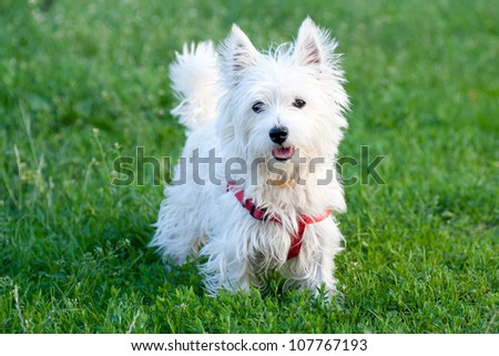 White dog on green grass background - stock photo