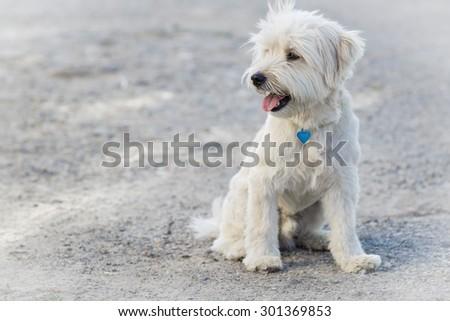 White dog portrait on a grey background - stock photo