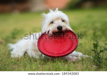 White dog  relax after playing frisbee in the garden - stock photo