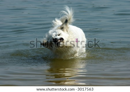 White Dog Shaking off in Water with motion blur - stock photo