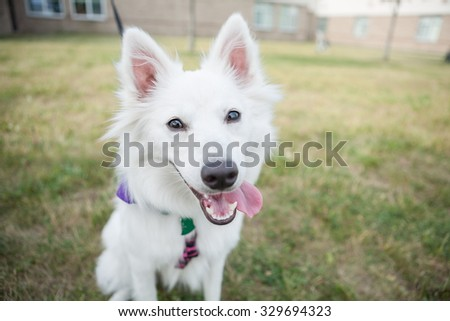 White dog sitting outside looking at the camera - stock photo