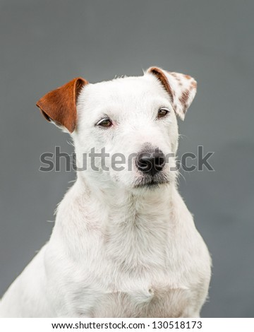 white dog with different colors on his ears - stock photo
