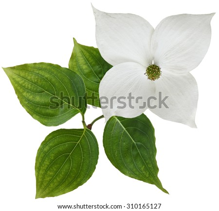 White dogwood flower isolated over background - stock photo