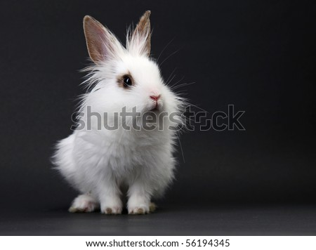 White domestic baby-rabbit on the black background in the studio - stock photo