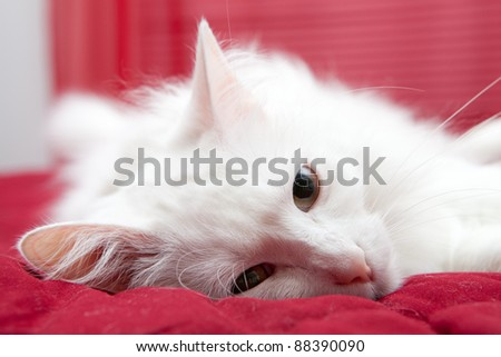 White domestic cat laying down - stock photo