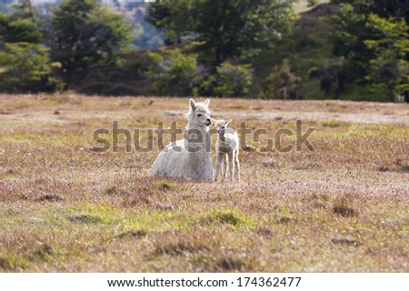 White domestic llama and its cute baby - stock photo