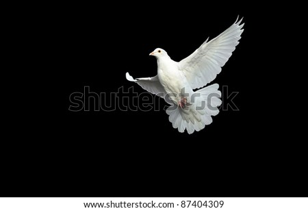white dove in free flight with isolated black background - stock photo