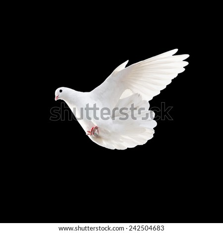 white dove on a black background - stock photo