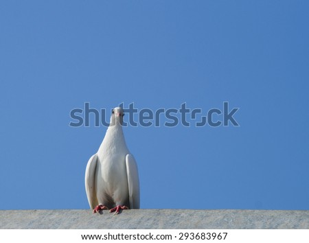 White dove sitting on a roof. Dove against the sky. - stock photo