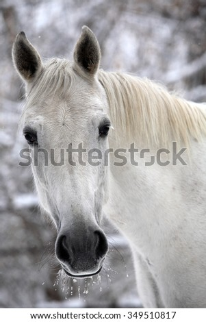 White draft horse outdoors in winter with snow - stock photo