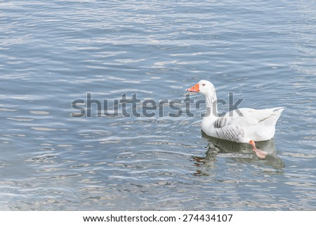 white duck in the river - stock photo