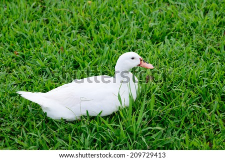 White duck sitting on glass - stock photo