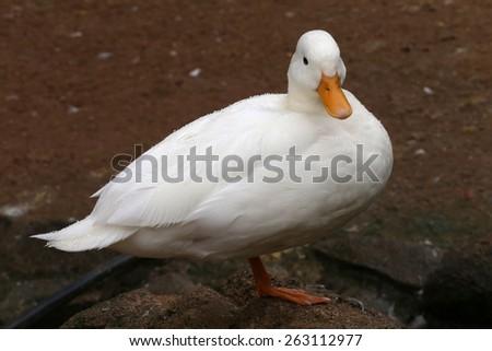 white duck swimming in lake - stock photo