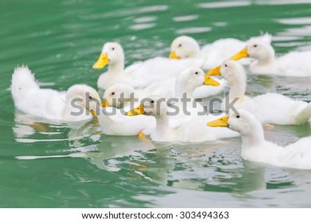 white ducks swim in pond - stock photo