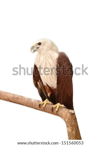 White Eagle perching on a branch, Isolated on a white background. - stock photo