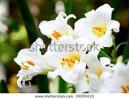 White Easter Lily flowers in a garden, shallow DOF - stock photo