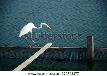 white egret looking for something in the water - stock photo