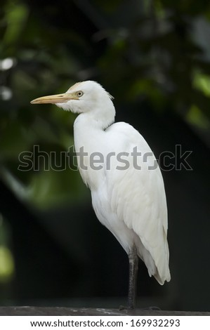 White egret resting - stock photo