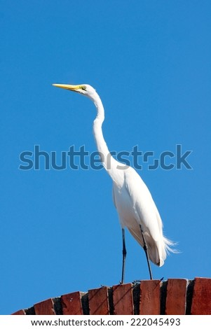 White egret, standing on a brick rooftop in Cartagena, Colombia. - stock photo