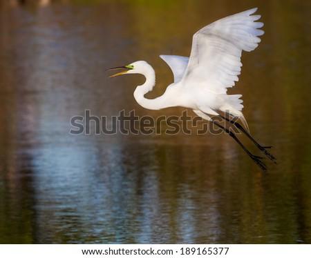 White egret taking flight over pond - stock photo