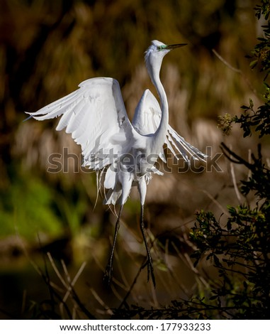 White egret with toes pointed - stock photo