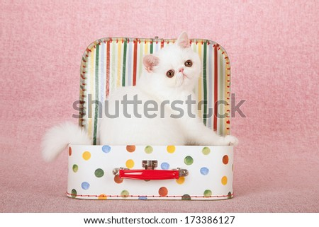 White Exotic kittens sitting inside colorful small toy suitcase box against pink background - stock photo