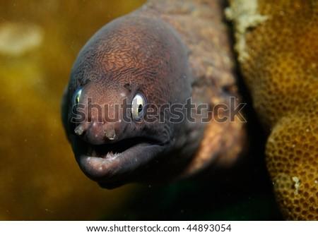 White-eye Moray Eel. Gymnothorax thyrsoideus - stock photo