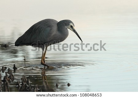 white faced heron wading in mangroves in brisbane nature reserve a symbol of diminshing fishing stocks adn waterbrids - stock photo