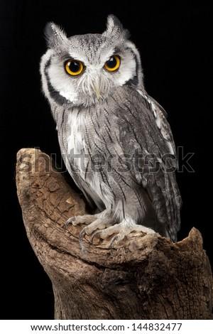 White Faced Owl - stock photo