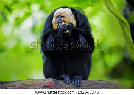 White-faced Saki Monkey sitting in the treetops - stock photo