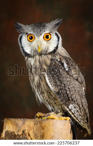 White Faced Scops Owl - stock photo