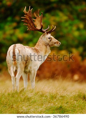 White Fallow deer buck stands proudly in his autumn  head gear - stock photo