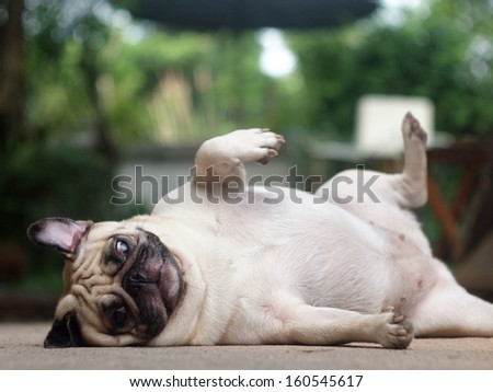 white fat lovely pug dog laying and rolling dancing on the floor making funny face and posture - stock photo