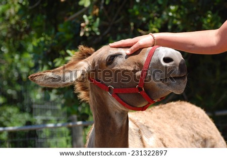 White female hand of a Caucasian woman touching and petting a donkey head. - stock photo