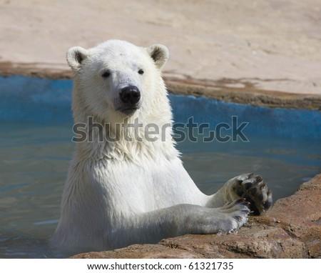 White female polar bear - stock photo