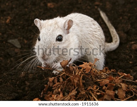 White female rodent outdoors - stock photo