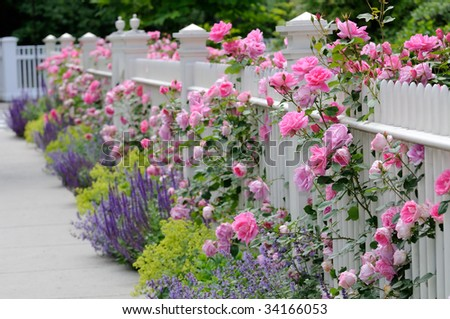 White fence, pink roses, sage (salvia) catmint and lady's mantle bordering sidewalk on house entrance - stock photo