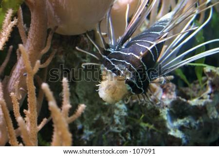 White-fin Lionfish (Pterois Radiata) - stock photo