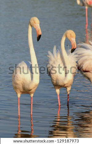 White flamingos in the water by sunset - stock photo
