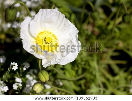 White flower (Meconopsis napaulensis hybrid).  - stock photo