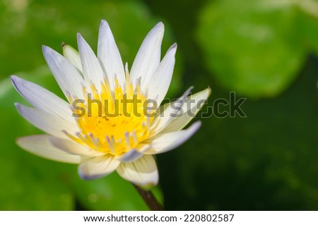 White flower of a lotus in a pond close up - stock photo