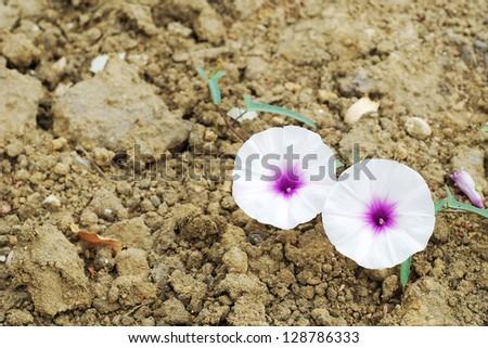 White flower on dry soil - stock photo