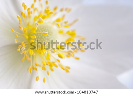 White flower with yellow middle, close-up - stock photo