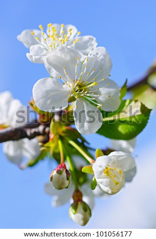 White flowers and green leaves on a blossoming cherry-tree against a blue sky. - stock photo