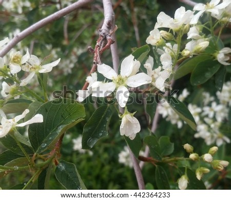 White flowers blooming among branches and lush green leaves.  - stock photo