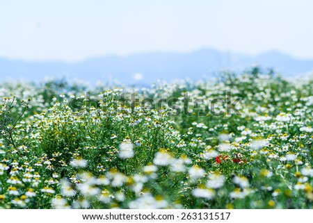 white flowers blooming in a garden - stock photo