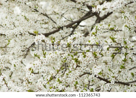 white flowers blooming on branch, springtime - stock photo
