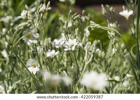 White flowers in a field, spring flowers with white petals - stock photo