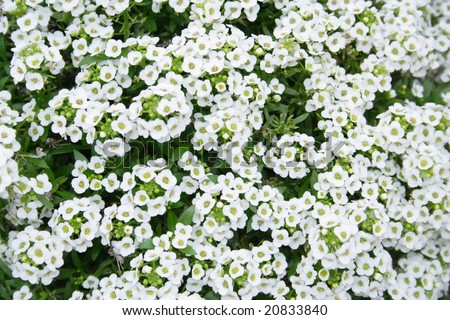 white flowers in a garden - stock photo
