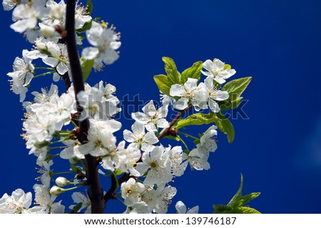 White flowers of a cherry against the  blue sky - stock photo